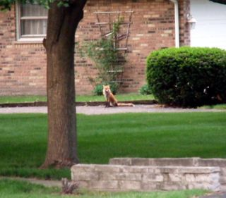 Fox_sitting_solo 1-2-2009 5-53-37 AM 503x441