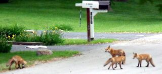 Foxes_four_street 6-7-2009 7-01-58 AM 452x207