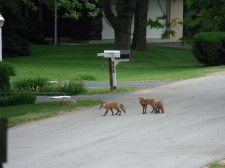 Foxes_three_street 6-7-2009 7-01-50 AM 375x281