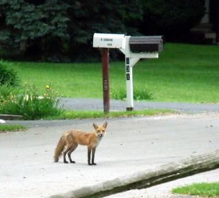 Fox_solo_street 6-7-2009 7-03-41 AM 376x339